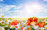 Fototapety Springtime: field of daisy flowers and tulips