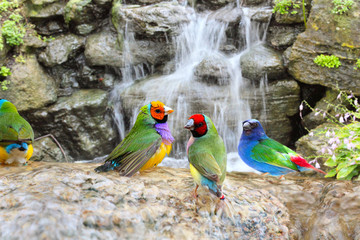 Gouldian Finch Colorful Birds Taking a Bath Near the Waterfall