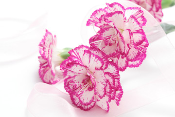 Pink white carnation and ribbon on white background