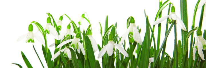 Snowdrop flower isolated.