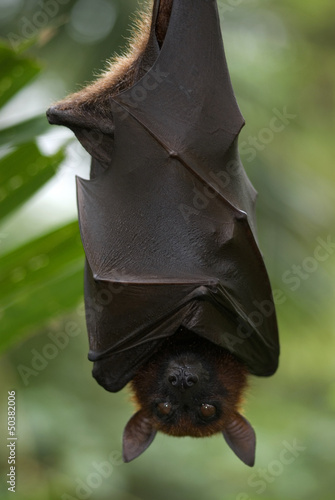 Fruit bat, Singapore