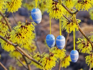 Osterstrauch Hamamelis - hamamelis shrub in easter time 10