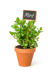 Mint in a clay pot with a wooden label