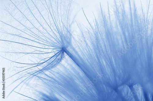 Dandelion close-up - 50397463