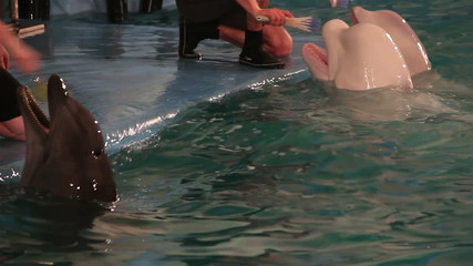 Two beluga whale and bottlenose dolphin brush their teeth.