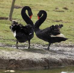 couple de cygnes noirs en parade