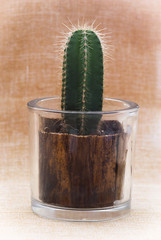 Little saguaro cactus in a decorative pot