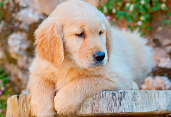 cute golden retriever puppy resting on table