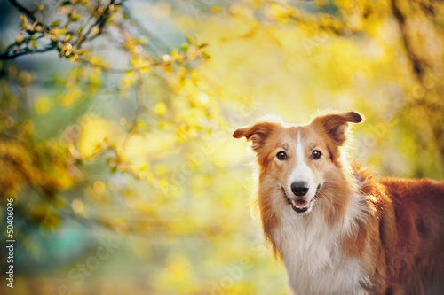 Border collie portrait on sunshine background