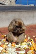 Barbary ape eating, Gibraltar © Arena Photo UK