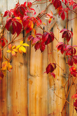Beautiful climber with red leaves on the wooden fence