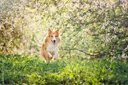 border collie dog running in spring