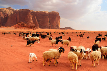Herd of Bedouin sheep and goats
