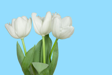 white tulips isolated on a blue
