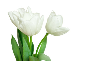 white tulips isolated on a white