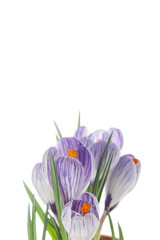 delicate crocuses isolated on a white