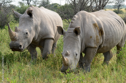 In de dag Neushoorn Khama rhino sanctuary in Botswana