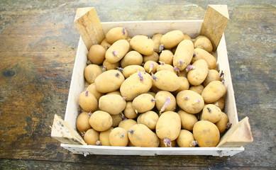 cageot de patates germées pour plantation