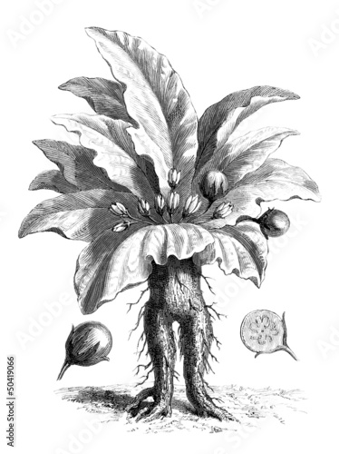 Magic : Mandragora Root - Alraune