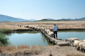 Shepherd And Flock, Albania