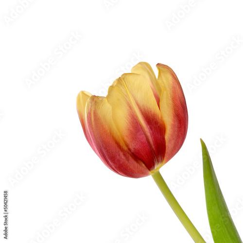 tulipan © Tomasz