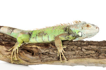 Green iguana crawling on a tree