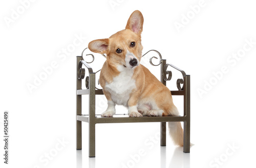 Corgi Pembroke sits on chair