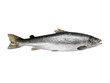 Atlantic King big Salmon isolated on a white