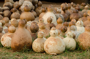 Harvest of calabash