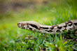 Close up of Columbia boa constrictor.