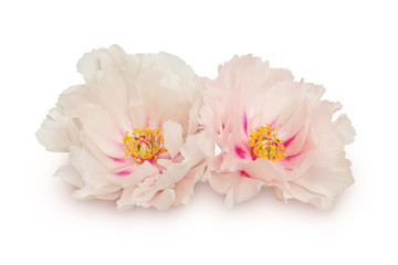 Two peony flowers on white
