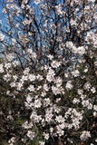 Almond tree in blossom, Andalusia © Arena Photo UK