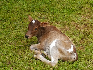 A calve resting on the grass