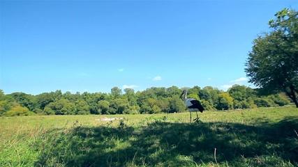 Adult stork is walking in its natural habitat (Ukraine)