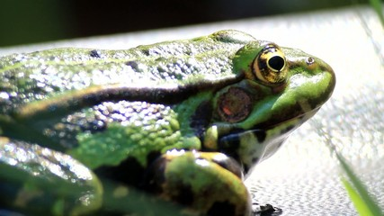 Frog - green - portrait - breathing and watching