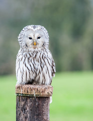 Close up of an Ural Owl