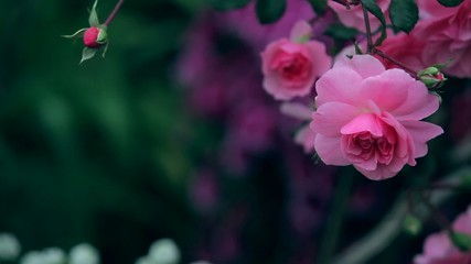 Beautiful pink roses on dark bokeh background