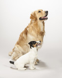 Golden retriever e Jack russell terrier