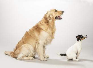 Golden retriever e Jack russell terrier cucciolo