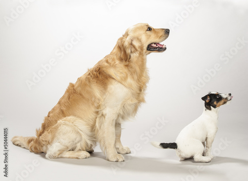 Golden retriever e Jack russell terrier cucciolo