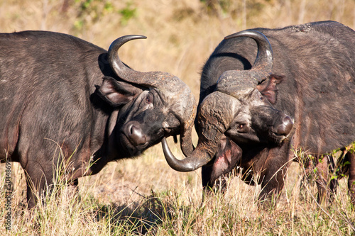 Two cape buffalo figting in long grass