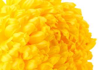 bright yellow chrysanthemum, isolated on white
