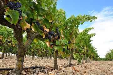 Viñedo con uvas, La Rioja (España)