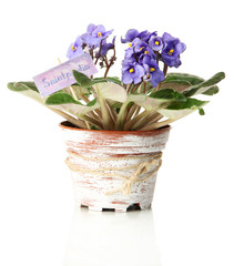 Bright saintpaulia in flowerpot, isolated on white