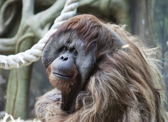 friendly orangutan
