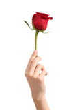Beautiful woman hand holding a red rosebud