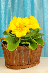 Beautiful yellow primula in basket on curtains background