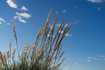 Esparto grass against a sunny blue sky