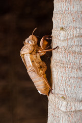 cicada slough holding on a tree