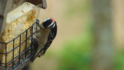 Downy Woodpecker Male